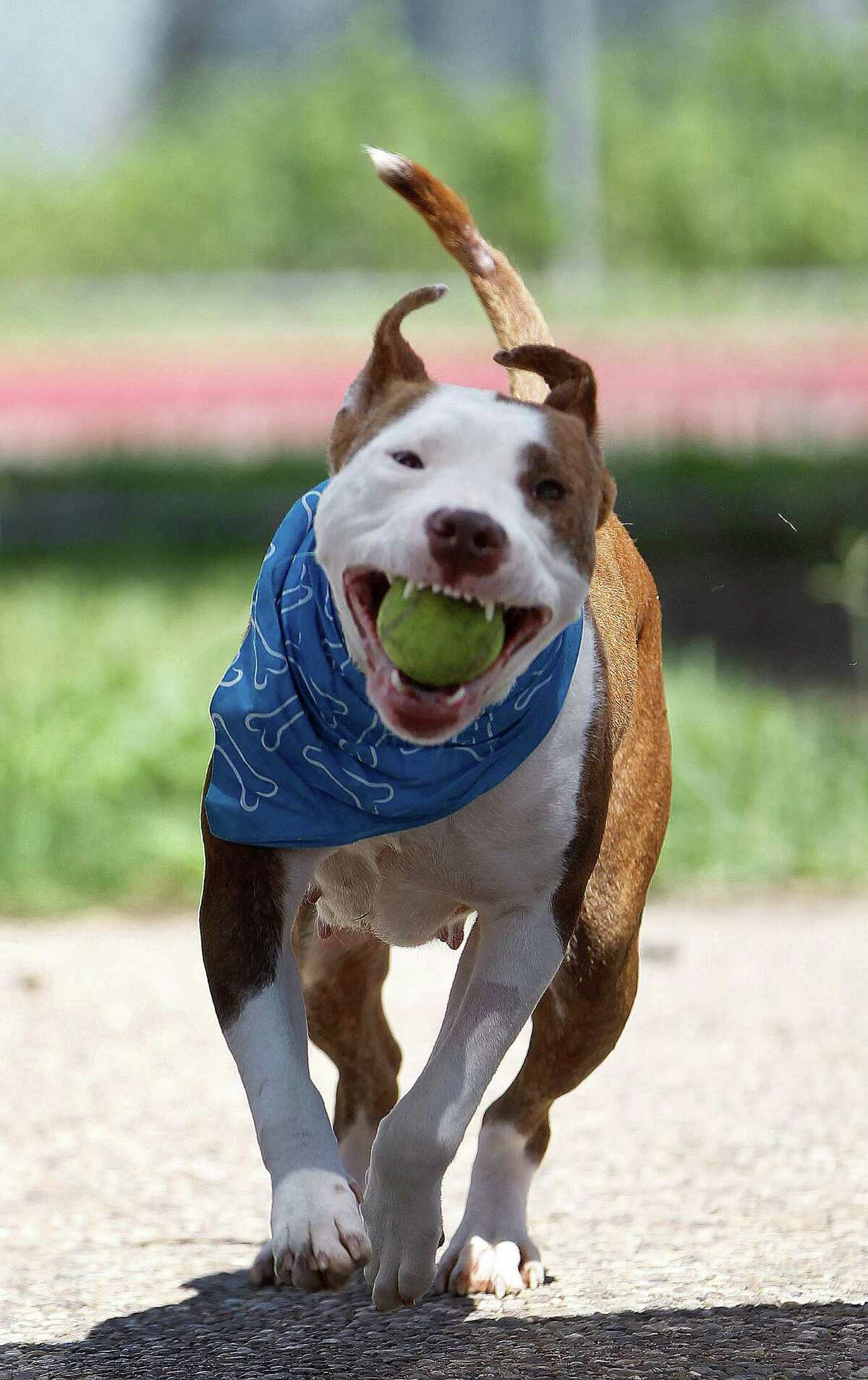 Stella runs with the ball as she plays at BARC on Wednesday. More animals are getting a second chance.