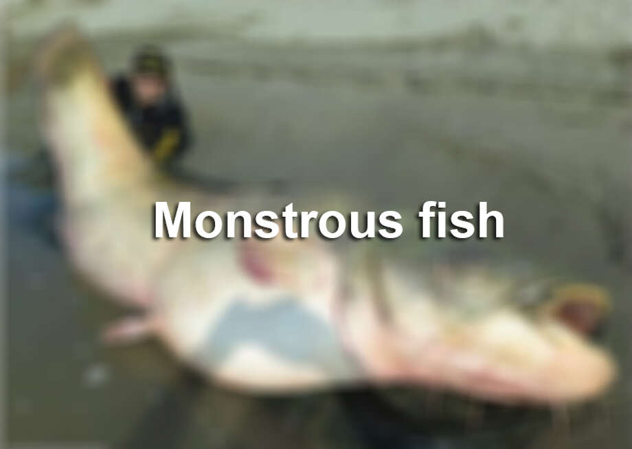 Click through to see some humongous fish that have been conquered by man. Photo: SAEN