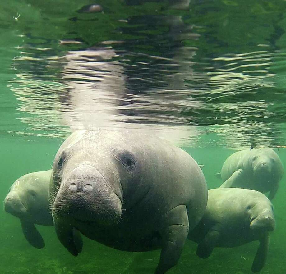 manatees in danger essay What it's like to swim with manatees with so many manatees in the area (especially during the colder months), manatee snorkeling tours have become increasingly .