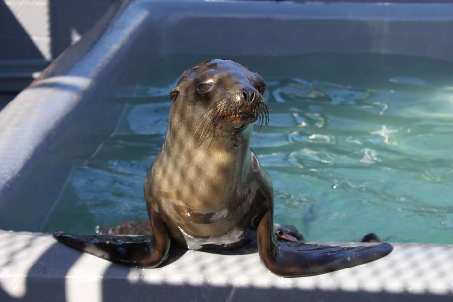 Rubbish, a sea lion pup, stranded himself on the streets of San Francisco Thursday morning, the second time he has required rescue since February. Photo: Courtesy / The Marine Mammal Center