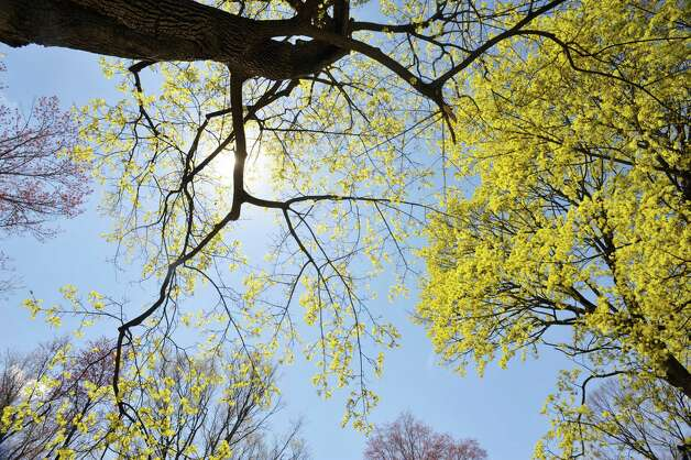 Trees begin to bloom in Prospect Park on Thursday, April 30, 2015, in Troy, N.Y.   (Paul Buckowski / Times Union) Photo: PAUL BUCKOWSKI / 00031659A