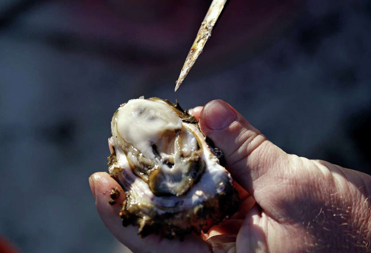 An oyster is removed from its shell to be snacked-on minutes after being collected from a growing bed on May 1 in Willapa Bay near Tokeland, Wash.