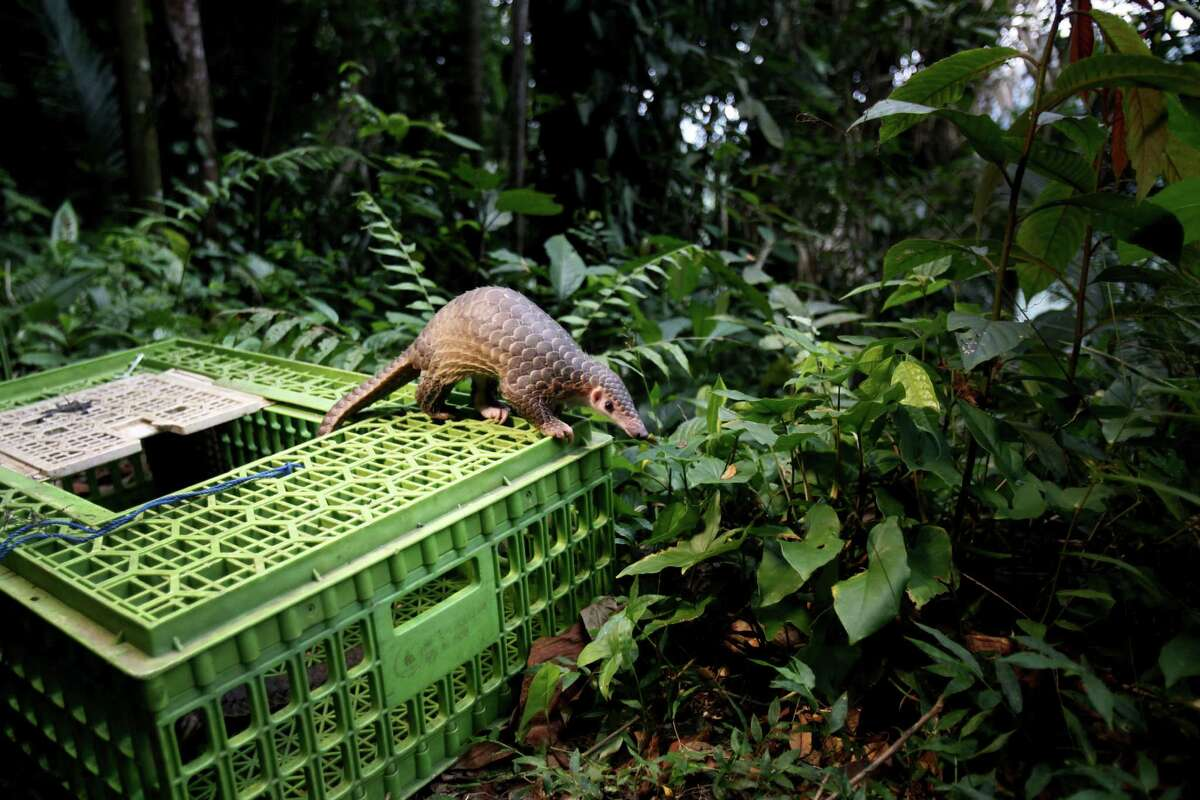 A pangolin climbs out of a cage upon its release into the wild in Sibolangit, North Sumatra, Indonesia, Monday, April 27, 2015. The anteater is part of dozens of live pangolins and around five tons (11,000 lbs) of pangolin meat ready to be shipped abroad confiscated in a police a raid last week.