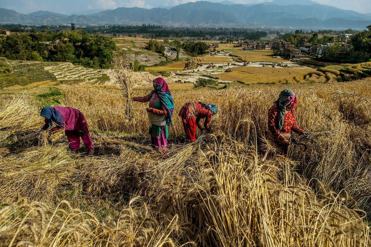 Women harvest wheat on May 3, 2015 in Changu Narayan, Nepal. A major 7.8 earthquake hit Kathmandu mid-day on Saturday, and was followed by multiple aftershocks that triggered avalanches on Mt. Everest that buried mountain climbers in their base camps. Many houses, buildings and temples in the capital were destroyed during the earthquake, leaving over 6000 dead and many more trapped under the debris as emergency rescue workers attempt to clear debris and find survivors. Regular aftershocks have hampered recovery missions as locals, officials and aid workers attempt to recover bodies from the rubble.