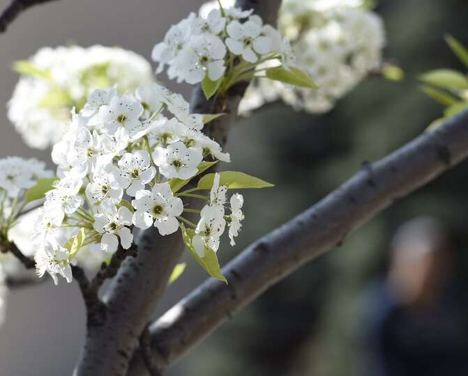 A tree blossoms in Albany on Monday, May 4, 2015. (Skip Dickstein / Times Union)