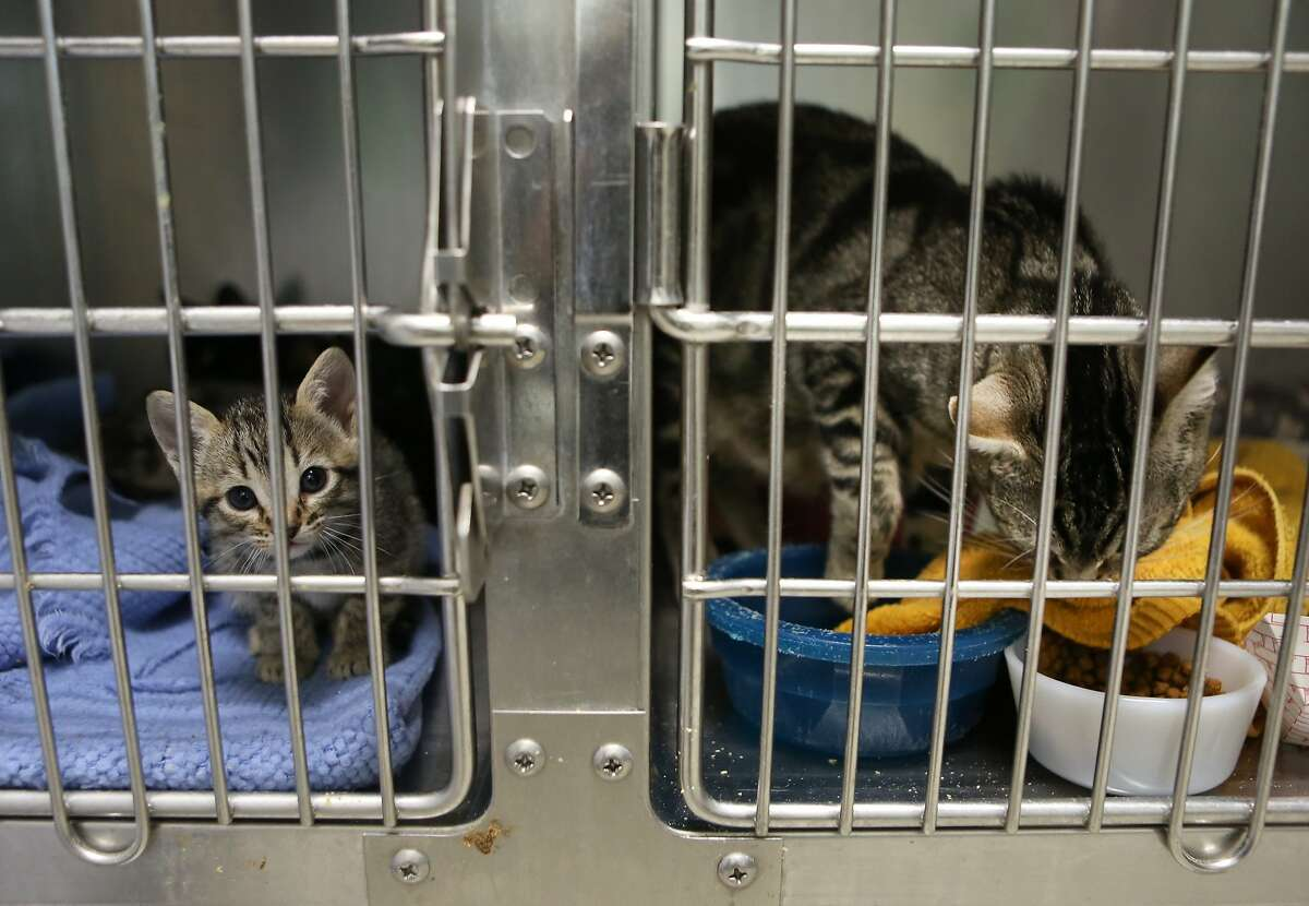 A kitten with her mother are in a cage next to another mother cat at the Oakland Animal Shelter on Monday, May 4, 2015.