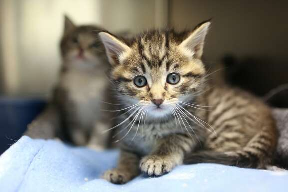 Two of the many kittens at the Oakland Animal Shelter on Monday, May 4, 2015.