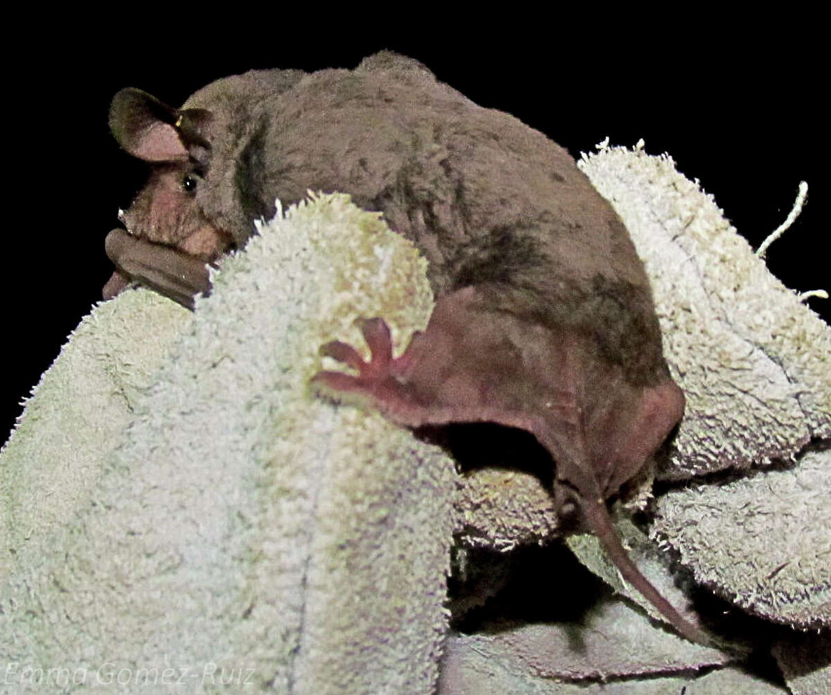Mexican free-tailed bats, like this one, have been displaced from their roosting site at Kyle Field during the stadium's renovation. (Photo: Emma Gomez via Texas A&M)