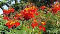 Pride of Barbados (Caesalpinia pulcherrima) is a show-stopper in summer.