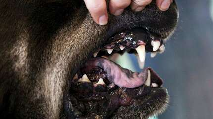 Eleasha Gall, director of behavior and training at spcaLA, reveals the teeth of Roosevelt, a Rottweiler-Husky mix, in Long Beach, Calif., on Wednesday, May 16, 2012. (AP Photo/Damian Dovarganes)