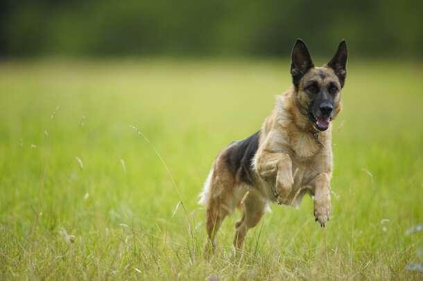 3. German Shepherd
