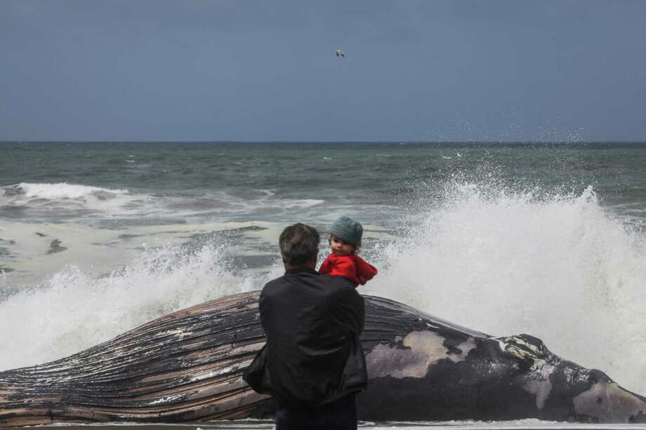 Ed Kasazza holds his granddaughter Mia Kasazza while looking at a female humpback whale that washed up on the beach in Pacifica on May 5, 2015. Photo: Sam Wolson / Special To The Chronicle / ONLINE_YES