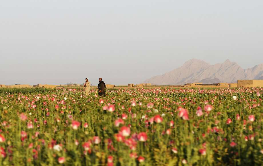 Afghan farmers harvest raw opium at a poppy field in Kandahar's Zhari district. This year, many Afghan poppy farmers are expecting a windfall as they get ready to harvest opium from a new variety of poppy seeds said to boost yield of the resin that produces heroin. Photo: Allauddin Khan, Associated Press