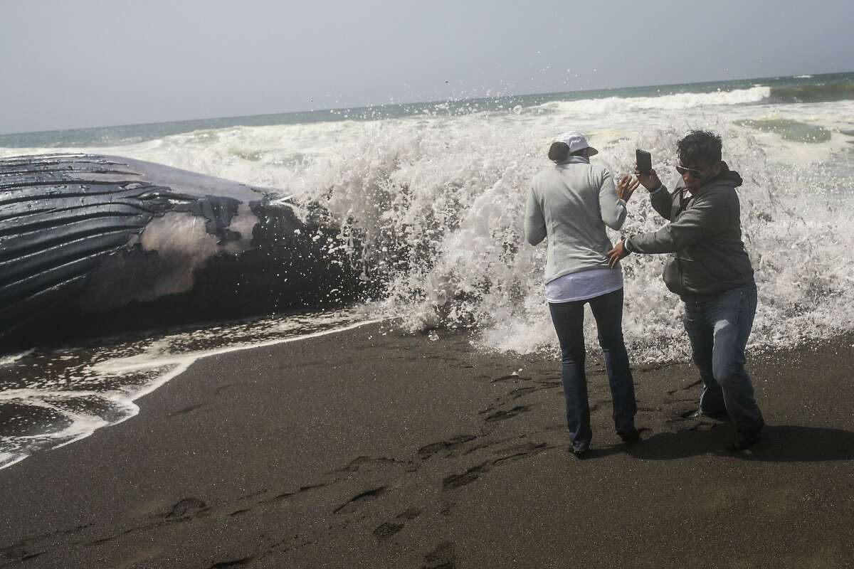 Erensto Apolinar and Julia Apolinar run away as waves crash in against a dead female humpback whale that washed up on the beach in Pacifica on May 5, 2015.