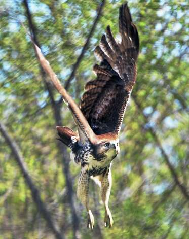 A red-tailed hawk takes to the wing along the bike path near Lock 8 Wednesday May 6, 2015 in Niskayuna, NY.  (John Carl D'Annibale / Times Union) Photo: John Carl D'Annibale
