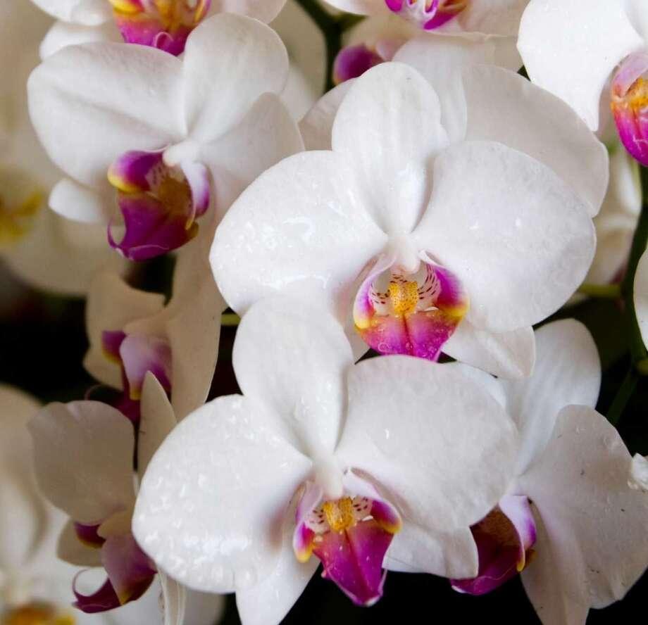 Greenwich Orchids  106 Mason St, Greenwich, CT 06830. (203) 661-5544 Photo: Brett Coomer, Houston Chronicle