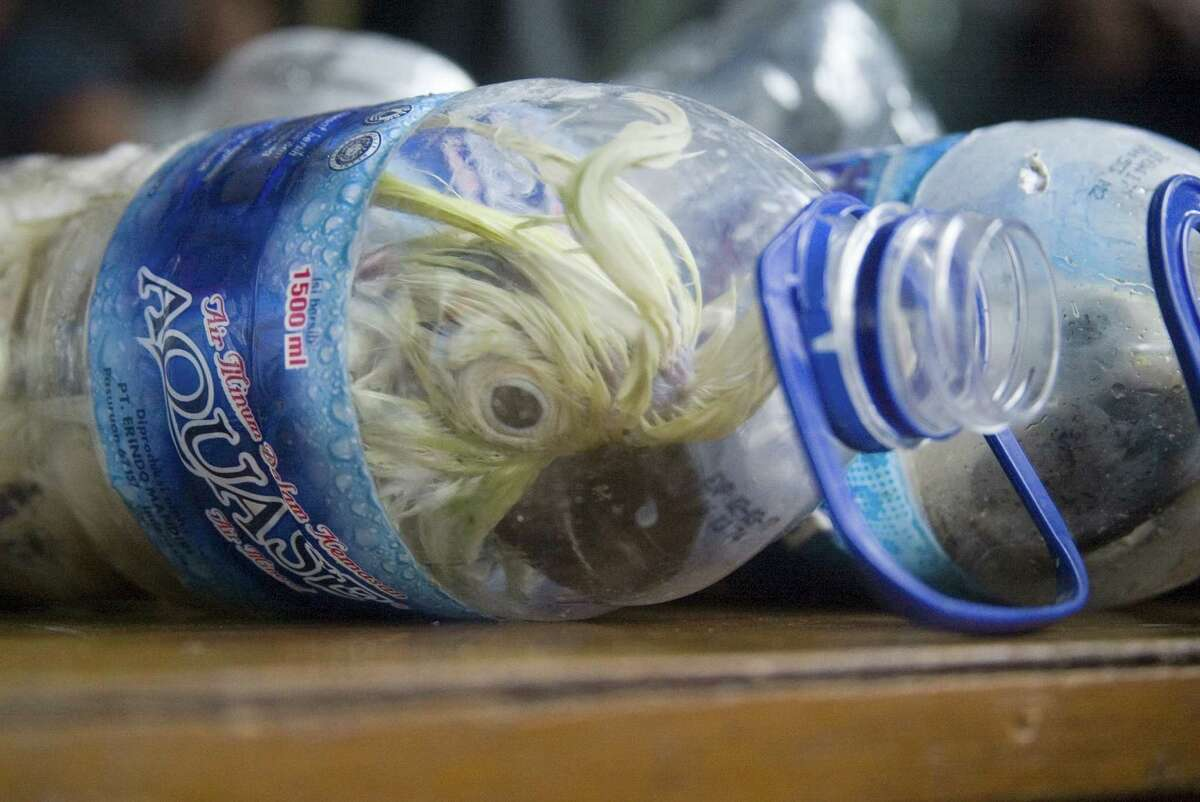 A total of 24 endangered live cockatoos were inserted into empty mineral bottles were rescued in May 2015 when they were illegally traded in the Port of Tanjung Perak Surabaya, Java Timur, Indonesia. (Photo by Suryanto/Anadolu Agency/Getty Images) Read more: Photos: Endangered live cockatoos stuffed inside water bottles in attempted smuggling