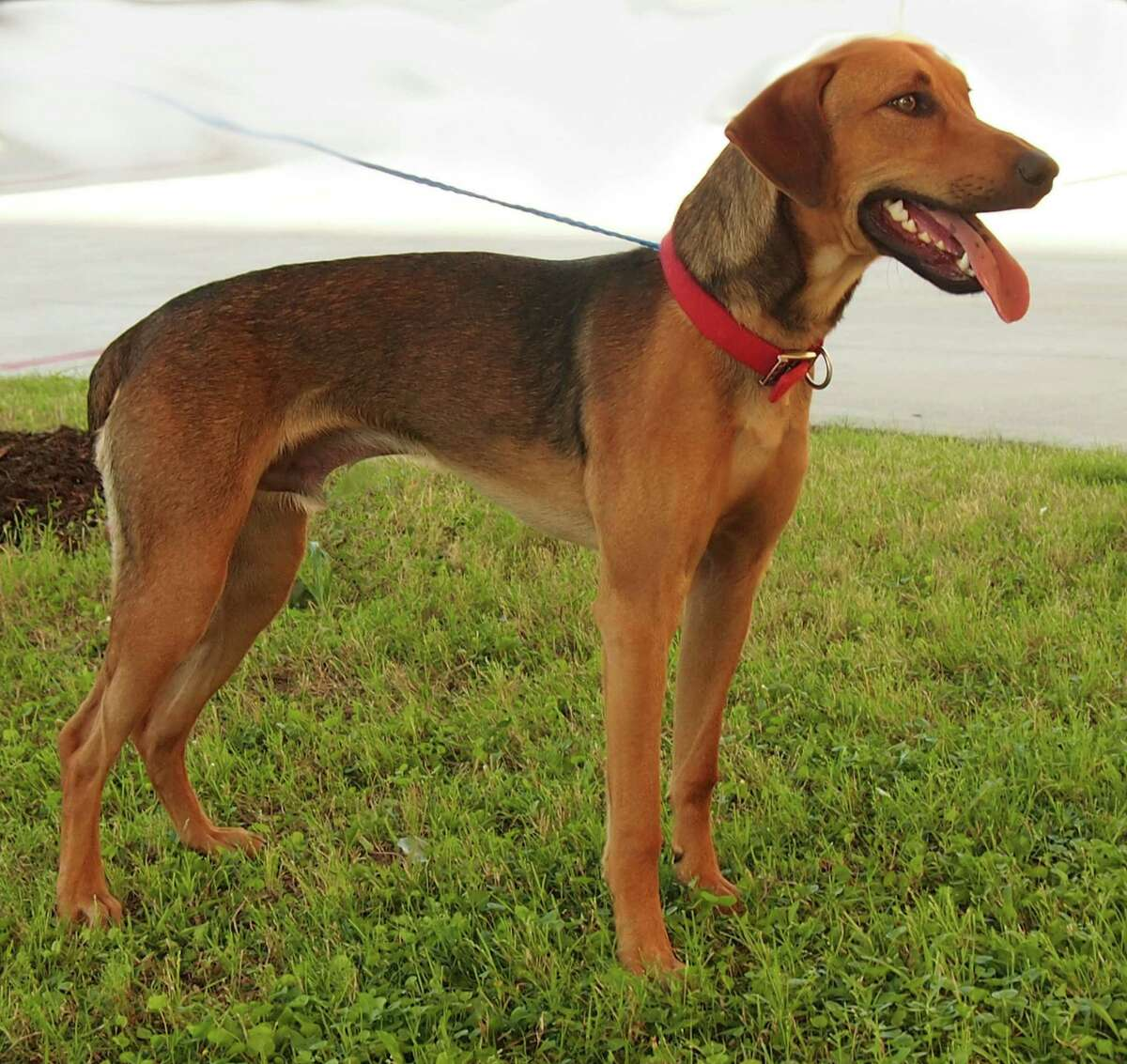 Pluto, a 1-year-old red bone coon hound/shepherd mix will be available for adoption at 11 a.m. Friday at Citizens for Animal Protection, 17555 I-10 W. More information: cap4pets.org or 281-497-0591. OLYMPUS DIGITAL CAMERA