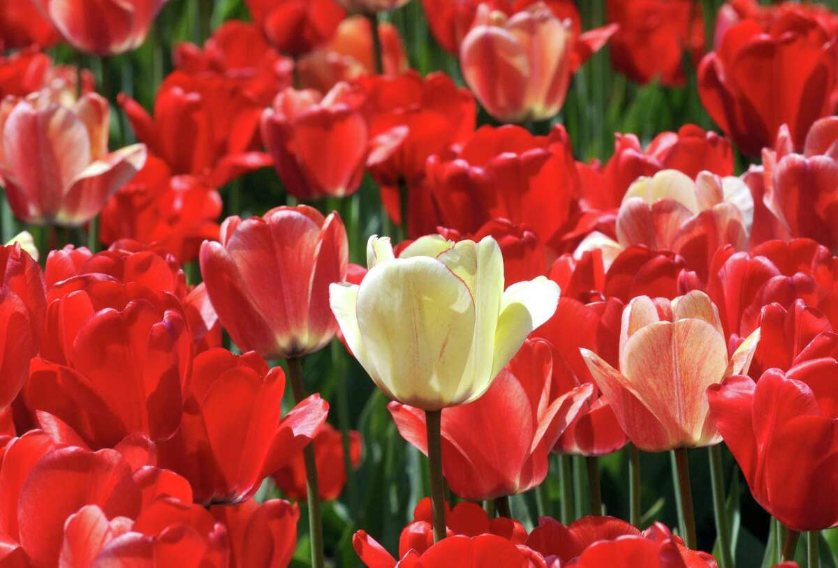 Tulips in prime viewing shape at Washington Park on Thursday May 7, 2015 in Albany, N.Y. (Michael P. Farrell/Times Union)