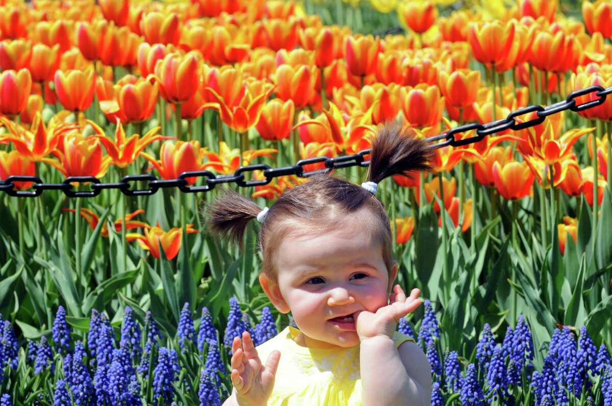 Ten-month-old Katie Whalen Clifton Park poses for a photograph taken by photographer Vanessa Wheeler amid the tulips in Washington Park on Thursday May 7, 2015 in Albany, N.Y. (Michael P. Farrell/Times Union)