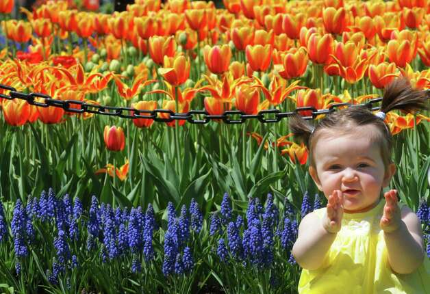 Ten-month-old Katie Whalen of Albany poses for a photograph taken by photographer Vanessa Wheeler amid the tulips in Washington Park on Thursday May 7, 2015 in Albany, N.Y. (Michael P. Farrell/Times Union) Photo: Michael P. Farrell