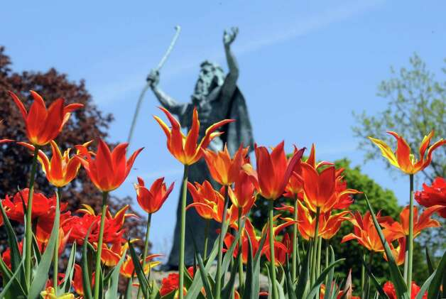 Tulips in prime viewing shape at Washington Park on Thursday May 7, 2015 in Albany, N.Y. (Michael P. Farrell/Times Union) Photo: Michael P. Farrell
