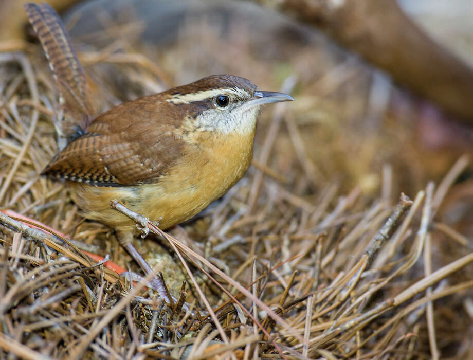 Carolina wrens build nests in a tree hollow or hanging flower basket from pine needles, leaves and twigs. Wrens camouflage the nest with a dome so it appears to be nothing more than a mound of vegetation. Photo: Kathy Adams Clark / Kathy Adams Clark/KAC Productions