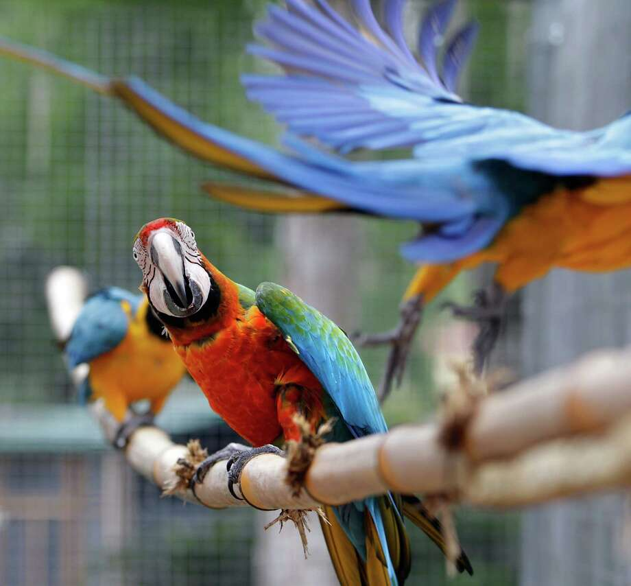 Colorful macaws inhabit a large open-flight aviary at The Florida Exotic Bird Sanctuary in Wesley Chapel, Fla. The sanctuary does not breed, sell, trade, or offer for adoption the birds in its care. Photo: Brendan Fitterer /Associated Press / Tampa Bay Times