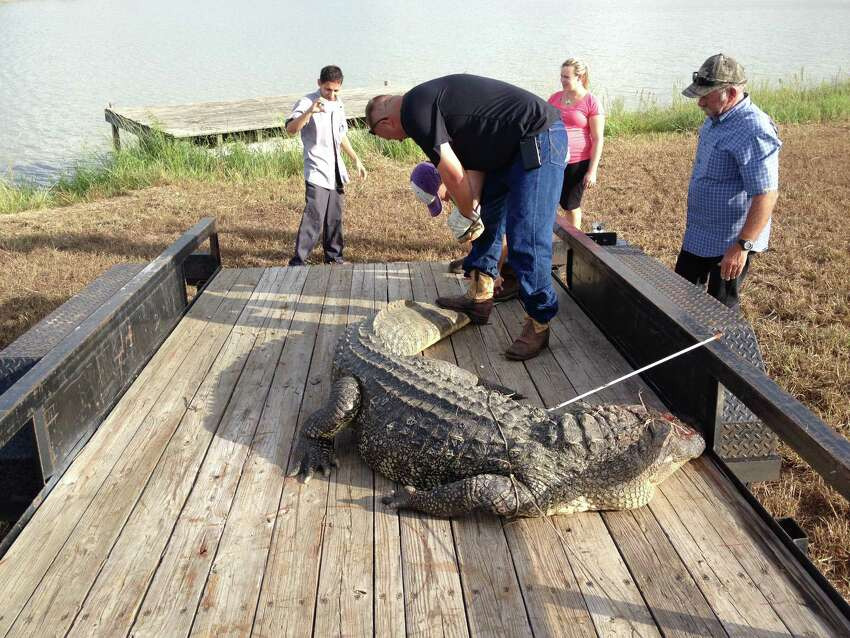 Kurt Johnson, Jr., on trailer, and his father, Kurt Johnson Sr., help load an 11-foot alligator for transport from Richmond's Brazos Lakes subdivision to a taxidermy shop, September 2013.