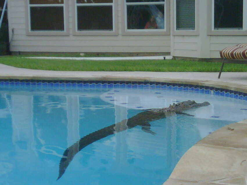 Missouri City resident Jodie Morris discovered a large alligator in her backyard swimming pool on a Saturday morning, June 12, 2010.