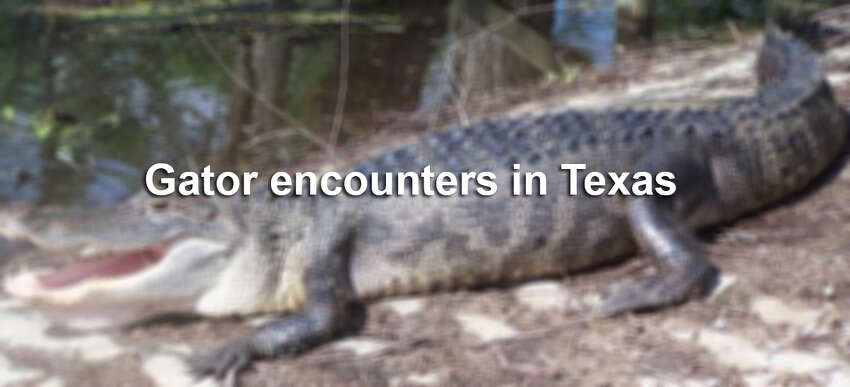 Click through the gallery to see photos from gator encounters in the Lone Star State.