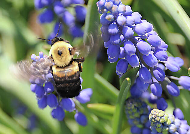 A bumblebee looks for nectar in a Grape Hyacinth (Muscari) in Washington Park during the start of the 167th annual Tulip Festival on Friday, May 8, 2015 in Albany, N.Y. (Lori Van Buren / Times Union) Photo: Lori Van Buren / 00031725A