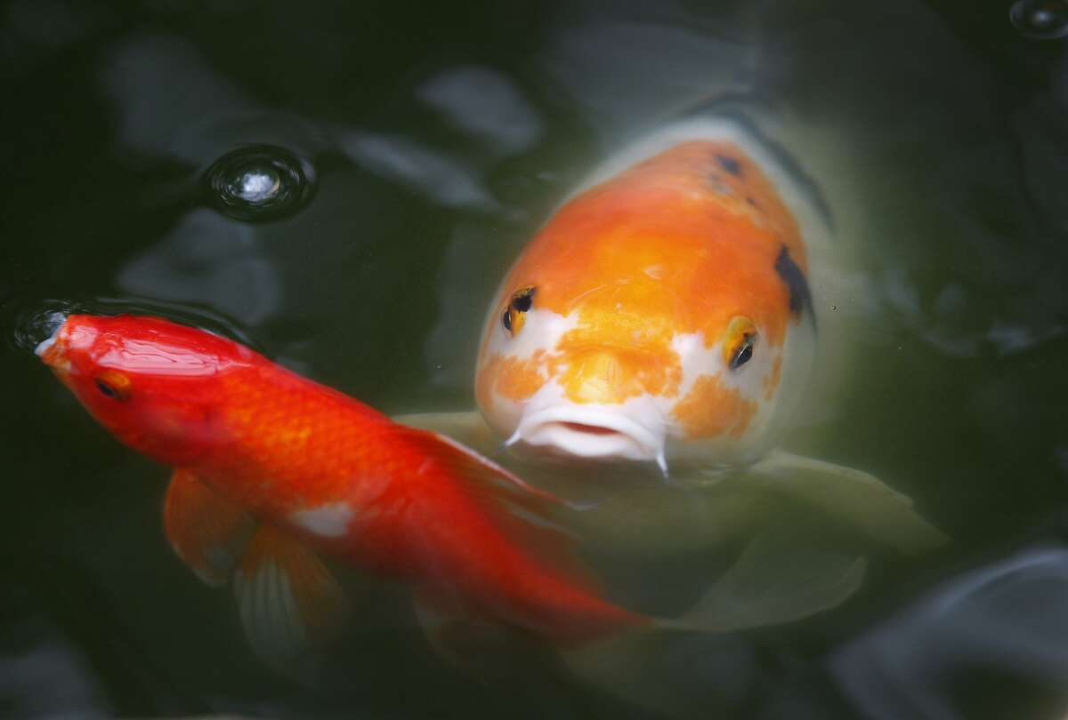 Fish swim in a pond at the Stranded! Tropical Island Survival exhibit at the Conservatory of Flowers in Golden Gate Park in San Francisco, Calif. on Friday, May 8, 2015. The exhibit which runs until Oct. 18 offers a fun look at how one can survive with the