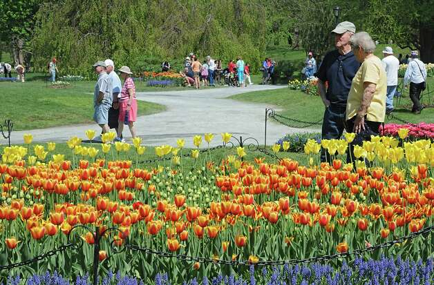 People walk around and look at tulips in Washington Park during the start of the 167th annual Tulip Festival on Friday, May 8, 2015 in Albany, N.Y. (Lori Van Buren / Times Union) Photo: Lori Van Buren / 00031725A