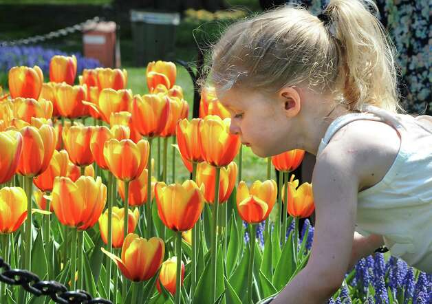 Madison Rohl, 3, of West Sand Lake takes a second to smell the tulips in Washington Park during the start of the 167th annual Tulip Festival on Friday, May 8, 2015 in Albany, N.Y. (Lori Van Buren / Times Union) Photo: Lori Van Buren / 00031725A