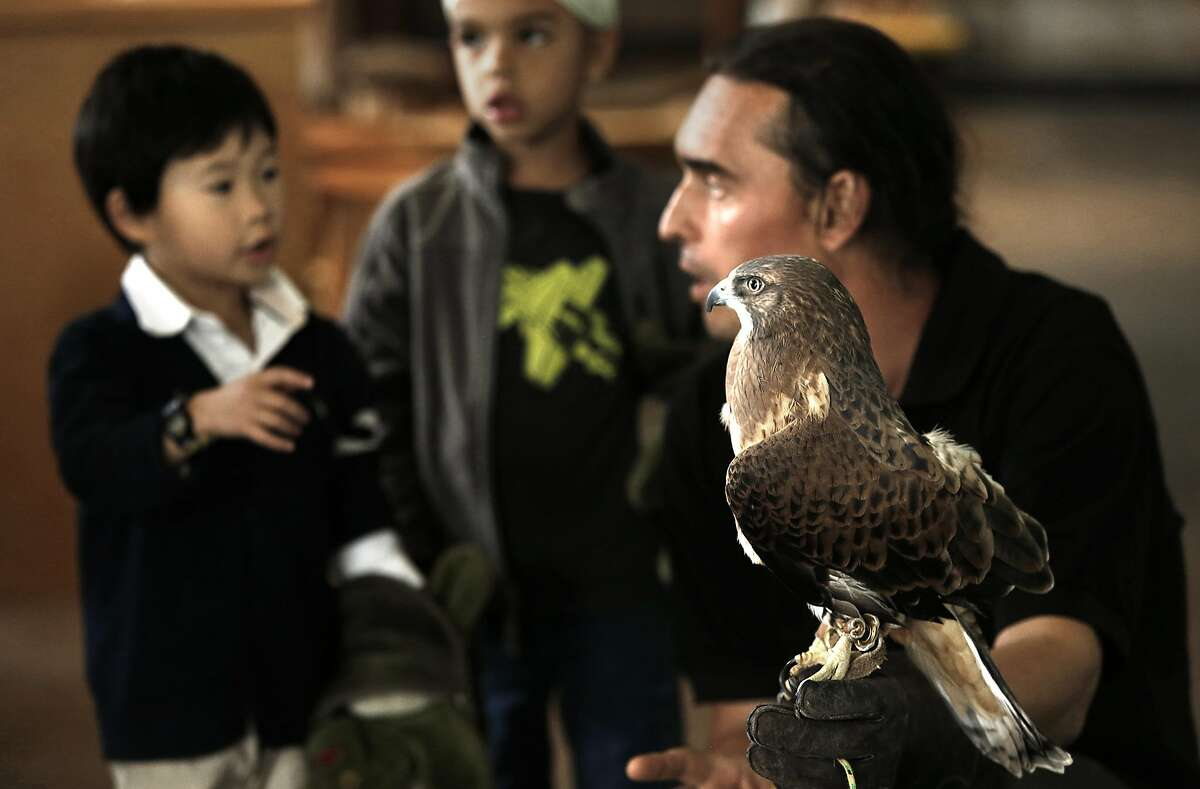 Animal keeper Dom Mosur (right) hold's a Swainson's hawk to show visitors Kevin Ling (left), 4 years old, and Sahib Hughes (middle), 6 years old today, at the Randall Museum in San Francisco, California, on Thursday, May 7, 2015.