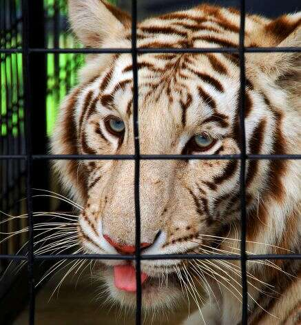 Calcutta, one of the tigers that currently is housed on the property of Steve Stalton in Mayfiedl, N.Y. This 2006 photo of the Royal White Bengal tigerwhen was taken at the Ashville Game Farm of Greenwich, N.Y, when the animal lived there. (John Carl D'Annibale/Times Union)