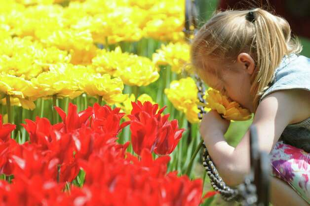 Hailey Becker, 7, of Ballston Lake gets a snootful of a lovely tulip during the 67th Annual Tulip Festival on Saturday, May 9, 2015, at Washington Park in Albany, N.Y. (Cindy Schultz / Times Union) Photo: Cindy Schultz / 00031726A