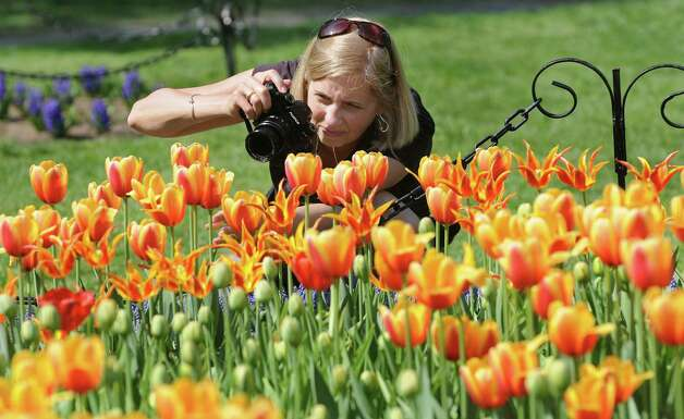 Claudia Kuhn of Woodstock captures the lovely tulips during the 67th Annual Tulip Festival on Saturday, May 9, 2015, at Washington Park in Albany, N.Y. (Cindy Schultz / Times Union) Photo: Cindy Schultz / 00031726A
