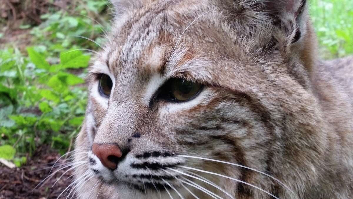 Bobcats can be seen along the Cat Trail at the 725-acre Northwest Trek Wildlife Park in Eatonville, Wash.