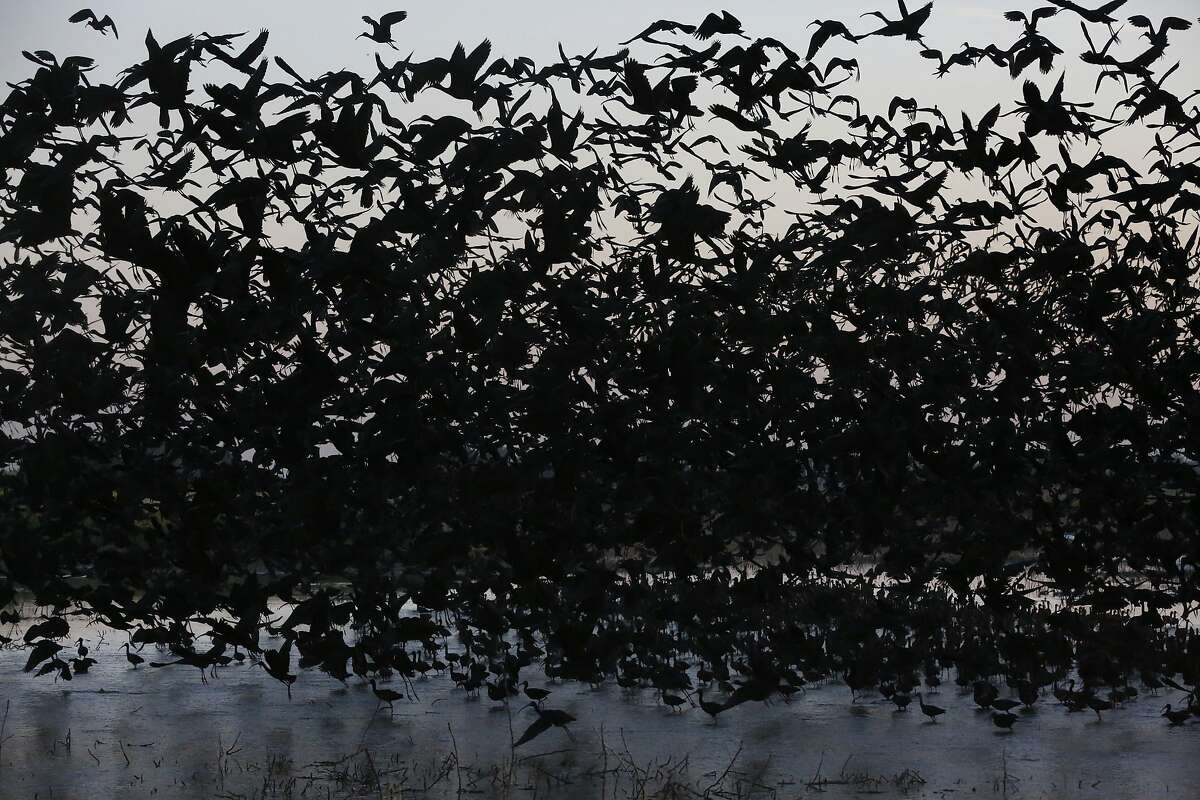 Hundreds of White-faced Ibis take off at dawn at Merced National Wildlife Refuge April 16, 2015 in Merced, Calif. The refuge is a restored wildlife area that reflects the habitat that used to be found in the Central Valley and provides much-needed breeding and wintering habitat for thousands of birds. Because of the drought, the refuge received no surface water allocation and were forced to pump groundwater to keep up the wetlands and the crops they grow for habitat.