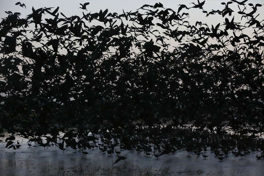 Hundreds of White-faced Ibis take off at dawn at Merced National Wildlife Refuge April 16, 2015 in Merced, Calif. The refuge is a restored wildlife area that reflects the habitat that used to be found in the Central Valley and provides much-needed breeding and wintering habitat for thousands of birds. Because of the drought, the refuge received no surface water allocation and were forced to pump groundwater to keep up the wetlands and the crops they grow for habitat. Photo: Leah Millis, The Chronicle