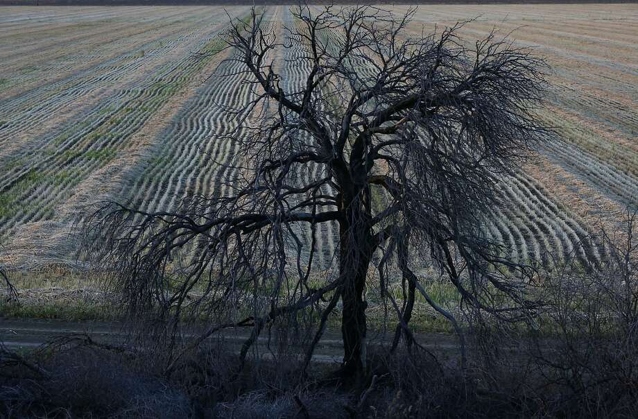 A dead tree sits on the edge of a recently harvested field just off of the San Luis Canal at sunset April 9, 2014 near Huron, Calif. Photo: Leah Millis, The Chronicle