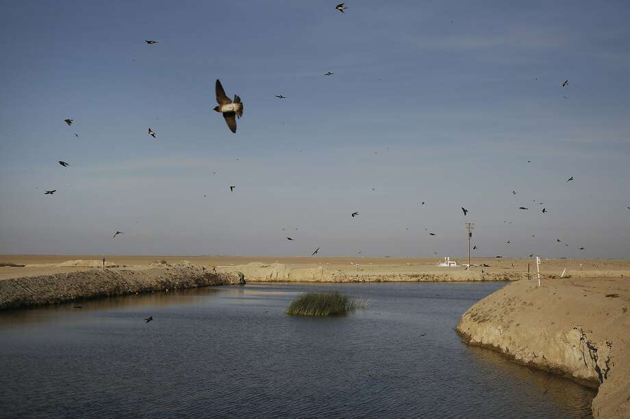 Tree swallows fly around a small patch of tules that have sprung up where water converges to be pumped into the South Wilbur Flood Area April 10, 2015 near Kings County, Calif. The reservoir is used for water storage by the Tulare Lake Basin Water Storage District. The body of water is situated in part of the San Joaquin Valley that used to contain the Tulare Lake, the largest freshwater lake in the western half of the continental United States. The lake was dried up by the year 1900 due to emerging agriculture in the region. Swallows used to nest in trees that would have lined the lake edge when it still existed, now they nest near the pumps. Photo: Leah Millis, The Chronicle