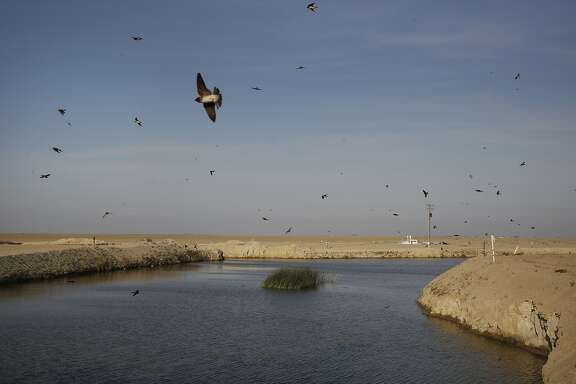 Tree swallows fly around a small patch of tules that have sprung up where water converges to be pumped into the South Wilbur Flood Area April 10, 2015 near Kings County, Calif. The reservoir is used for water storage by the Tulare Lake Basin Water Storage District. The body of water is situated in part of the San Joaquin Valley that used to contain the Tulare Lake, the largest freshwater lake in the western half of the continental United States. The lake was dried up by the year 1900 due to emerging agriculture in the region. Swallows used to nest in trees that would have lined the lake edge when it still existed, now they nest near the pumps.