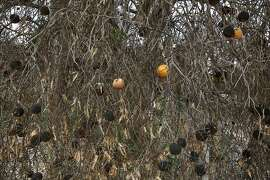 Dried up oranges can be seen still hanging from a dead tree in an orchard that was allowed to die by its owners April 9, 2014 in Lindsay, Calif.