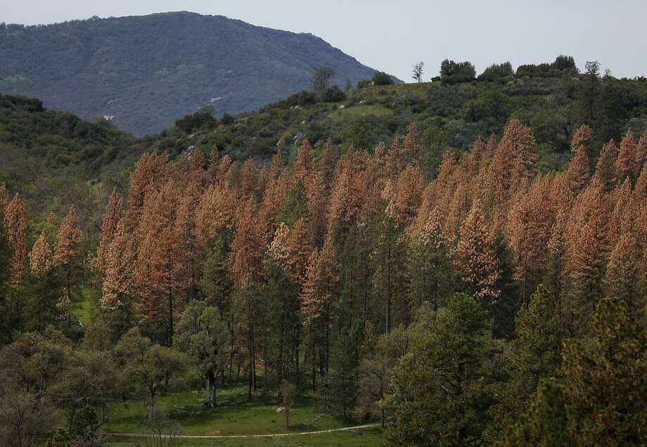 A group of dead pine trees stand on private land April 9, 2015 in the Sierra Nevada mountain range near Sequoia National Park, Calif. Pine trees across California, but especially in the central and southern regions have been stressed by the drought and are increasingly unable to fight off beetles that burrow under their bark. Photo: Leah Millis, The Chronicle