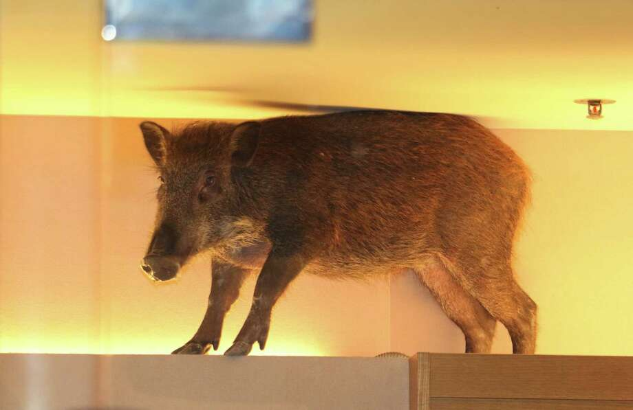 In this photo taken Sunday, May 10, 2015 photo, a wild boar is seen on top of a display rack at a children's clothing store in a mall in Hong Kong. The Hong Kong shopping mall received an unusual visit over the weekend, after the wild boar wandered inside and got trapped inside a children's clothing store. The boar was eventually tranquilized by a vet and taken to an animal rehab center, local newspaper reported.   HONG KONG OUT, TAIWAN OUT, NO ARCHIVE, Photo: Apple Daily, AP / Apple Daily