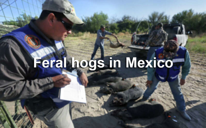 As in Texas, wild hogs are a big problem south of the border. This is how Mexico is taking care of the problem.