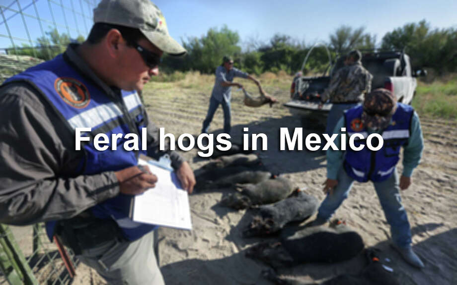As in Texas, wild hogs are a big problem south of the border. This is how Mexico is taking care of the problem. Photo: BOB OWEN, SAEN / © 2012 San Antonio Express-News